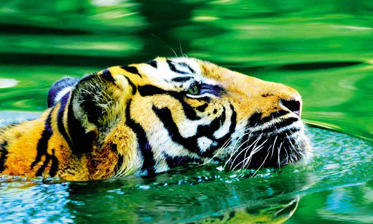 Tiger in Indonesia (Dreamstime)