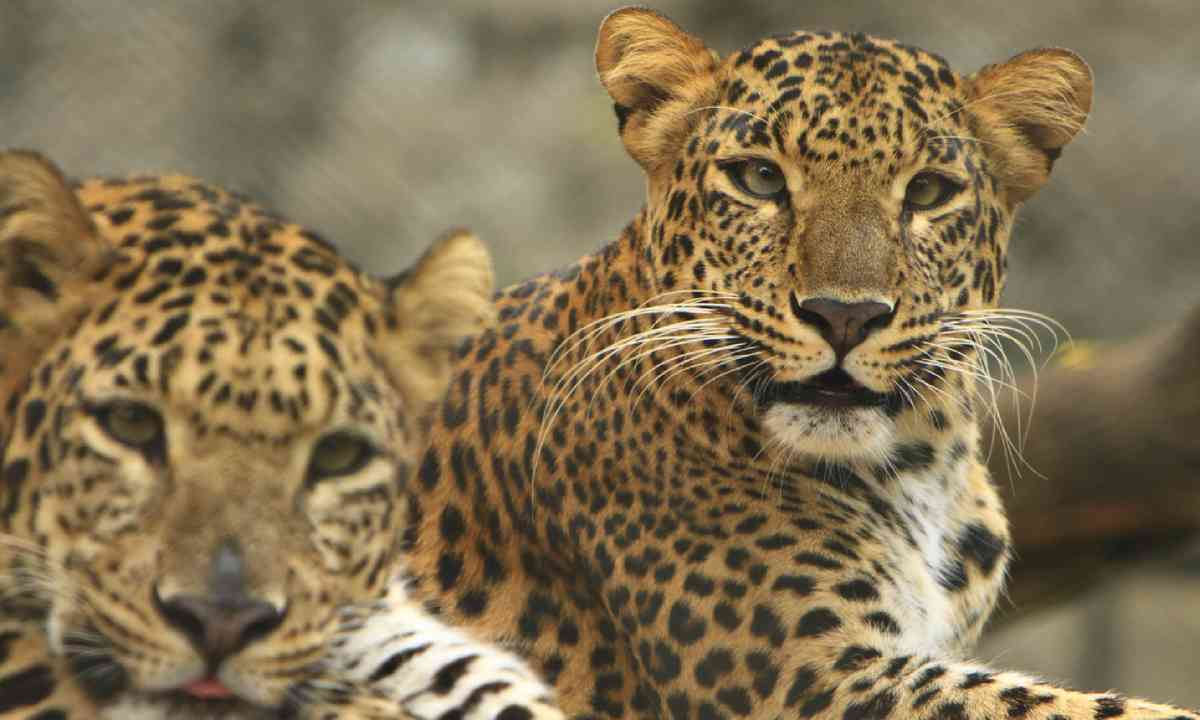 Leopards (Dreamstime)