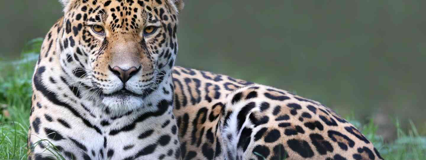 Jaguar in the Pantanal (Dreamstime)