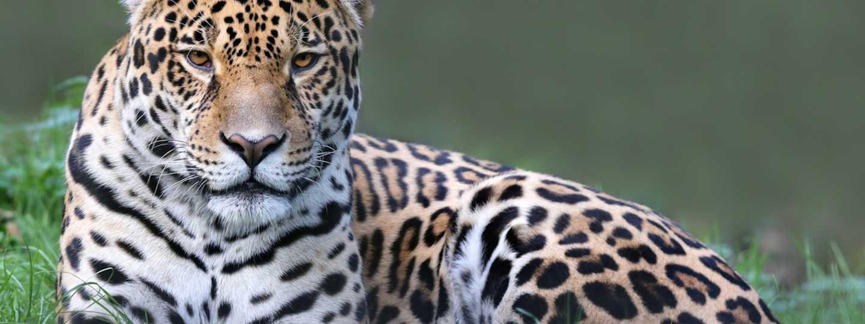 Jaguar in the Pantanal (Dreamstime)