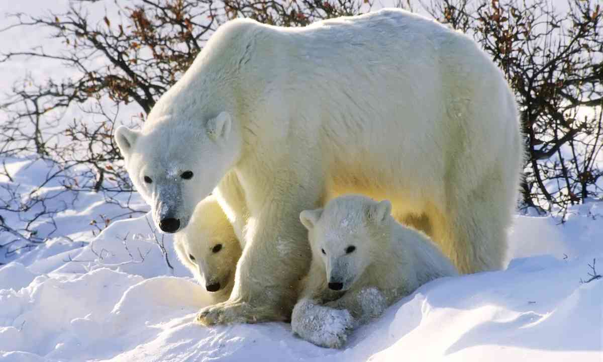 Polar bears in the Canadian Arctic (Shutterstock.com)