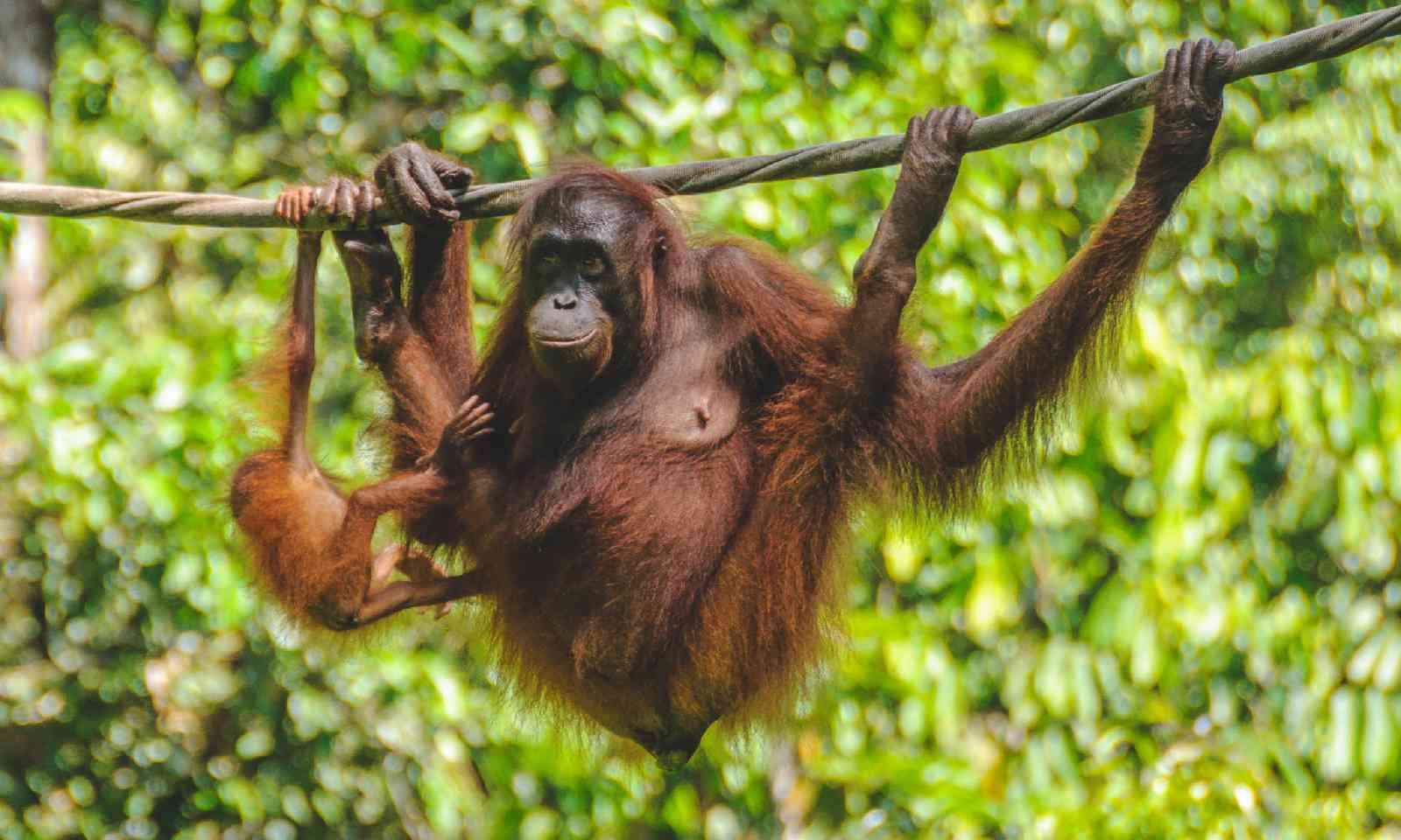 The Sepilok Orangutan Rehabilitation Sanctuary (Shutterstock)