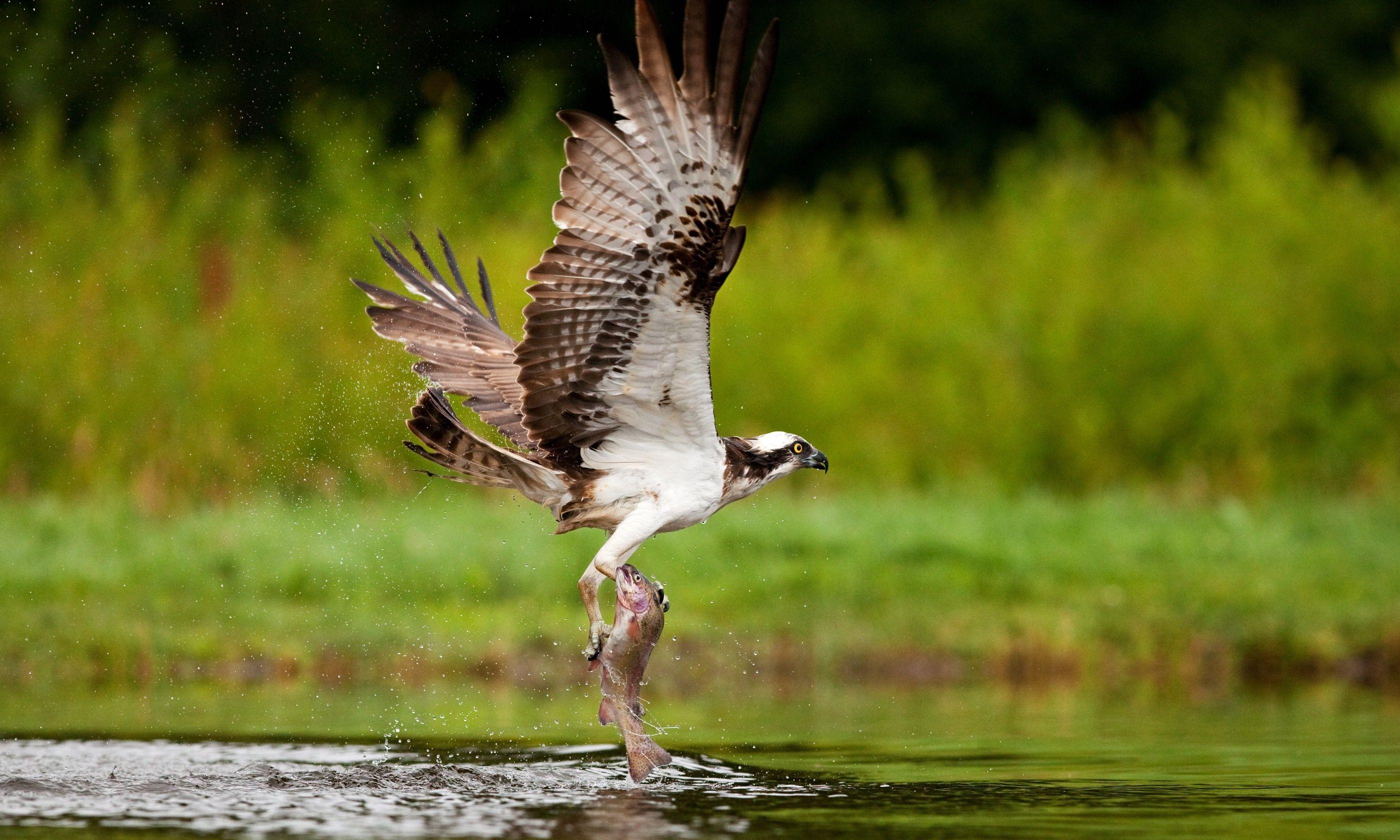 Osprey catching fish (Shutterstock.com)