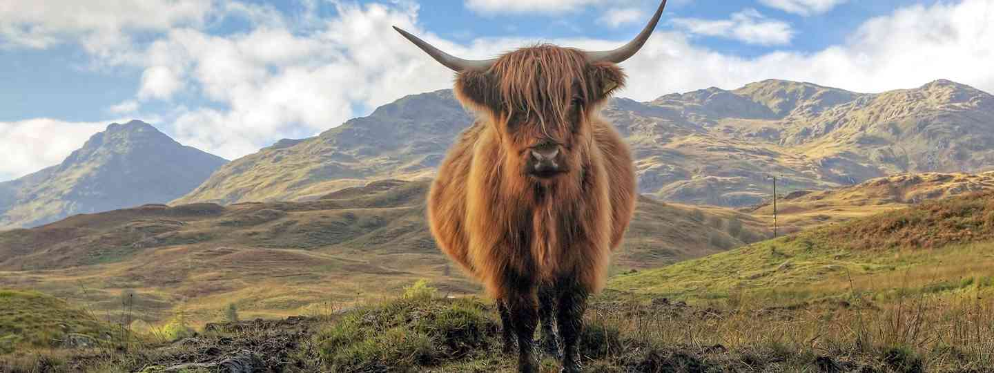 Highland cow, Scotland (Shutterstock.com. See main credit below)