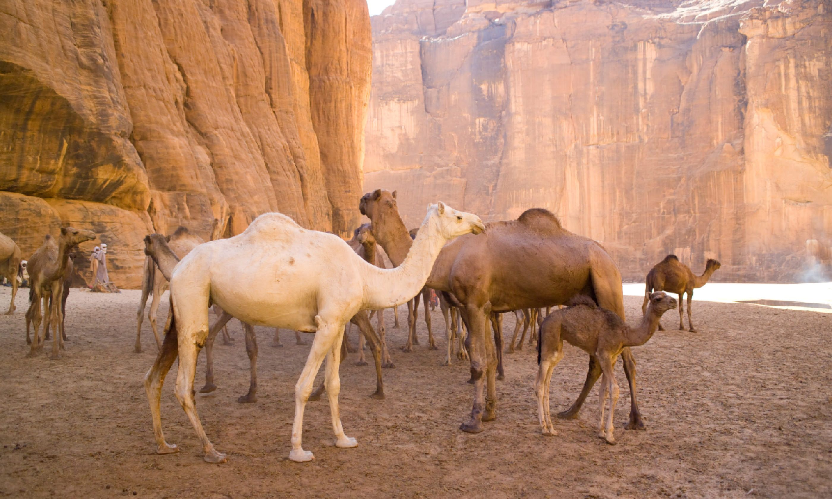 Camels in Chad (Dreamstime)