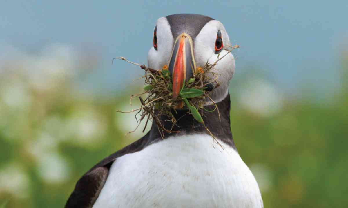 Puffin (Oliver Smart)