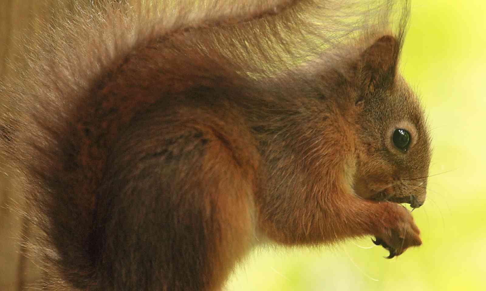 Red squirrel (James Lowen)