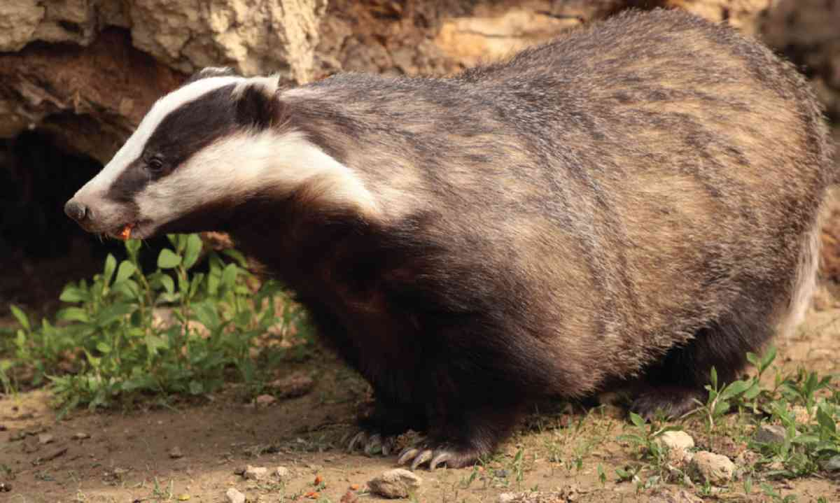 Badger (James Lowen)