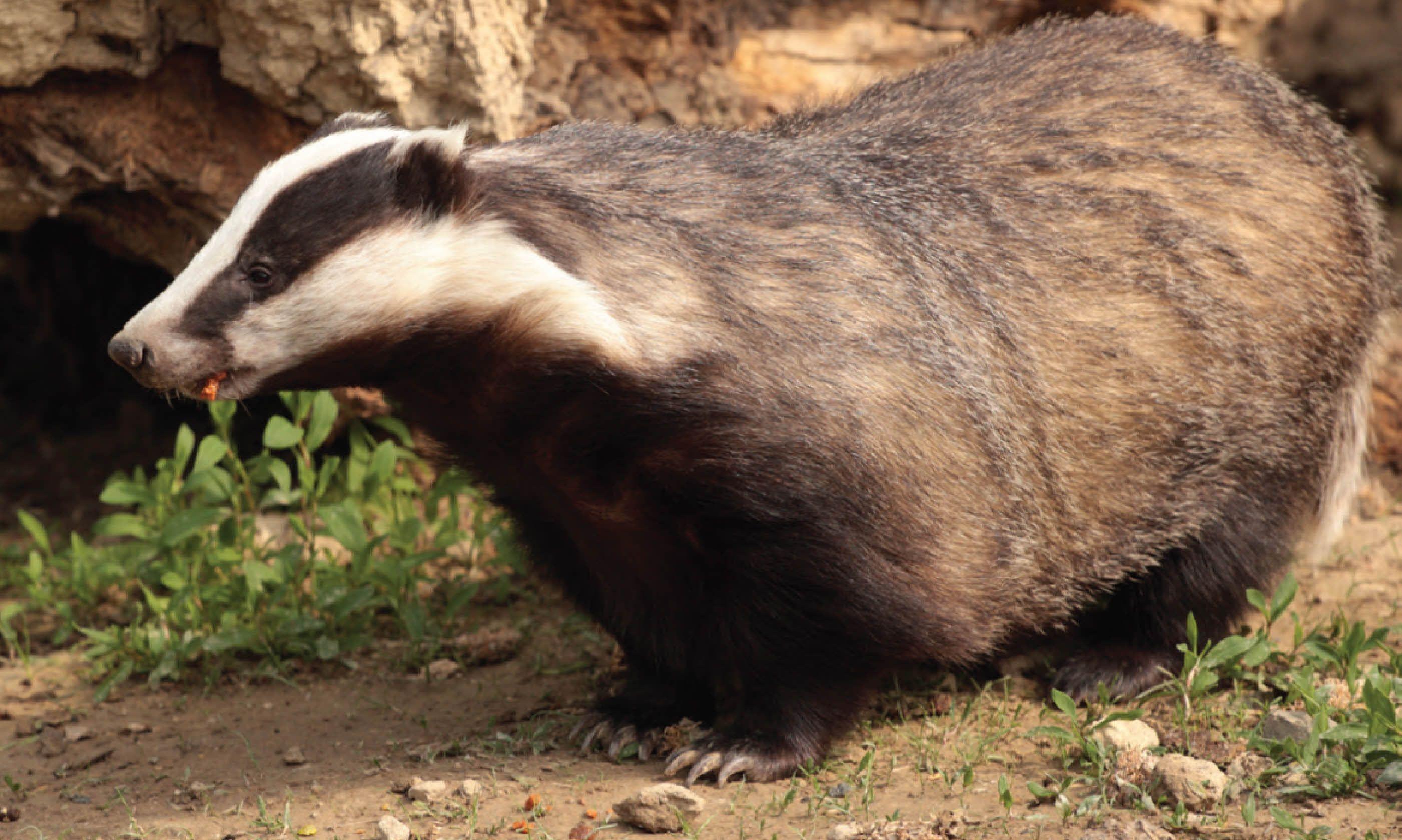 Badger (James Lowen)