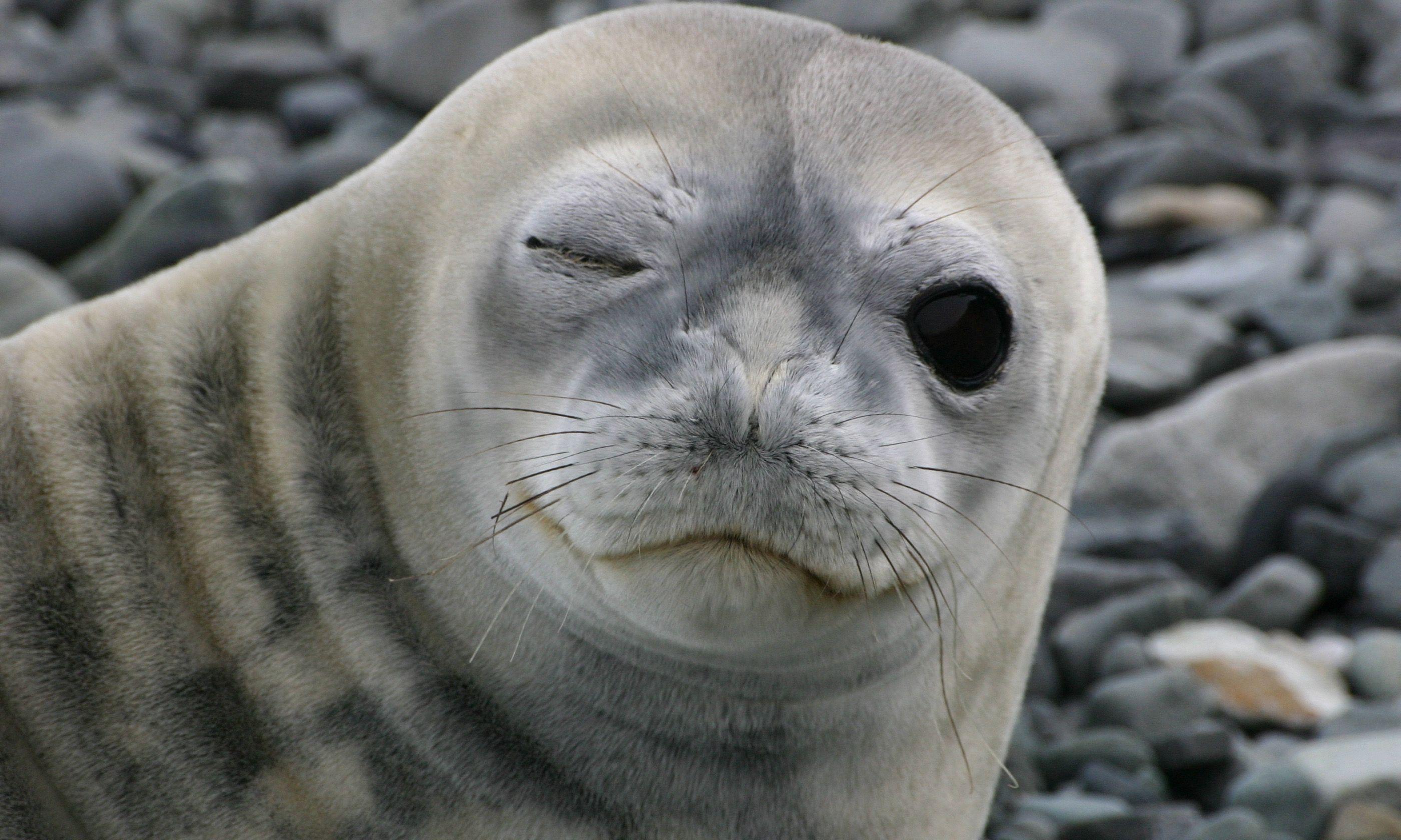 Winking seal on Livingston Island (Shuttertock.com)