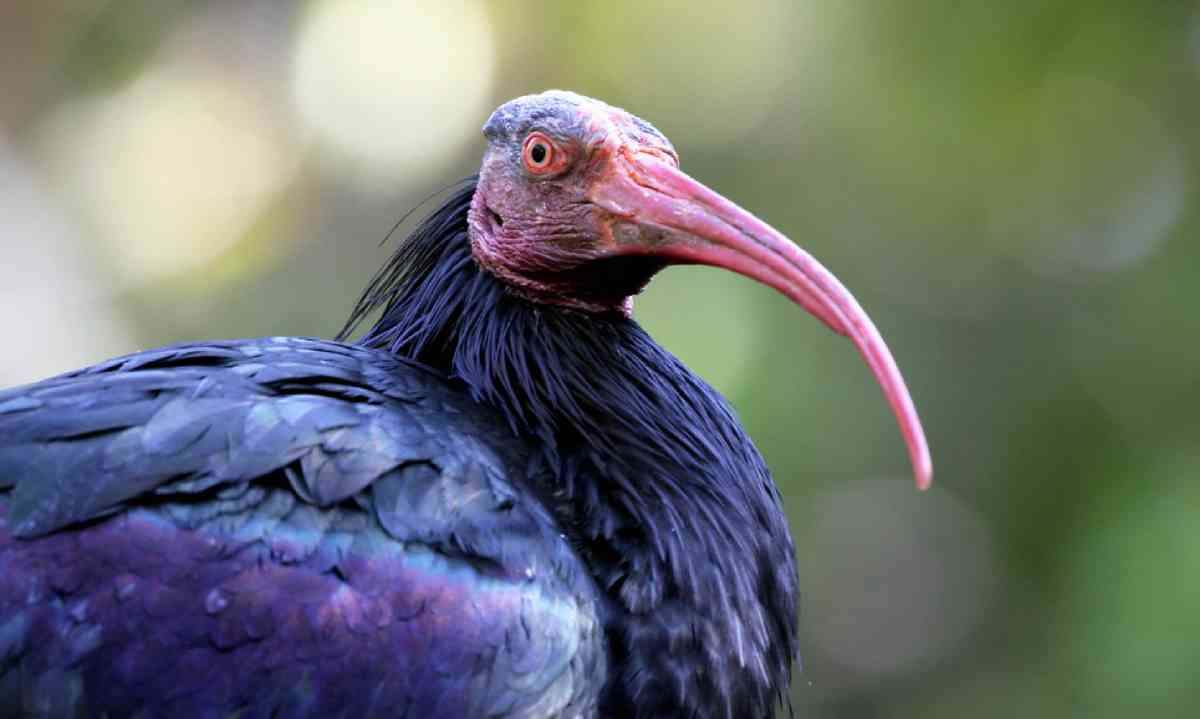 Northern Bald Ibis (Shutterstock)