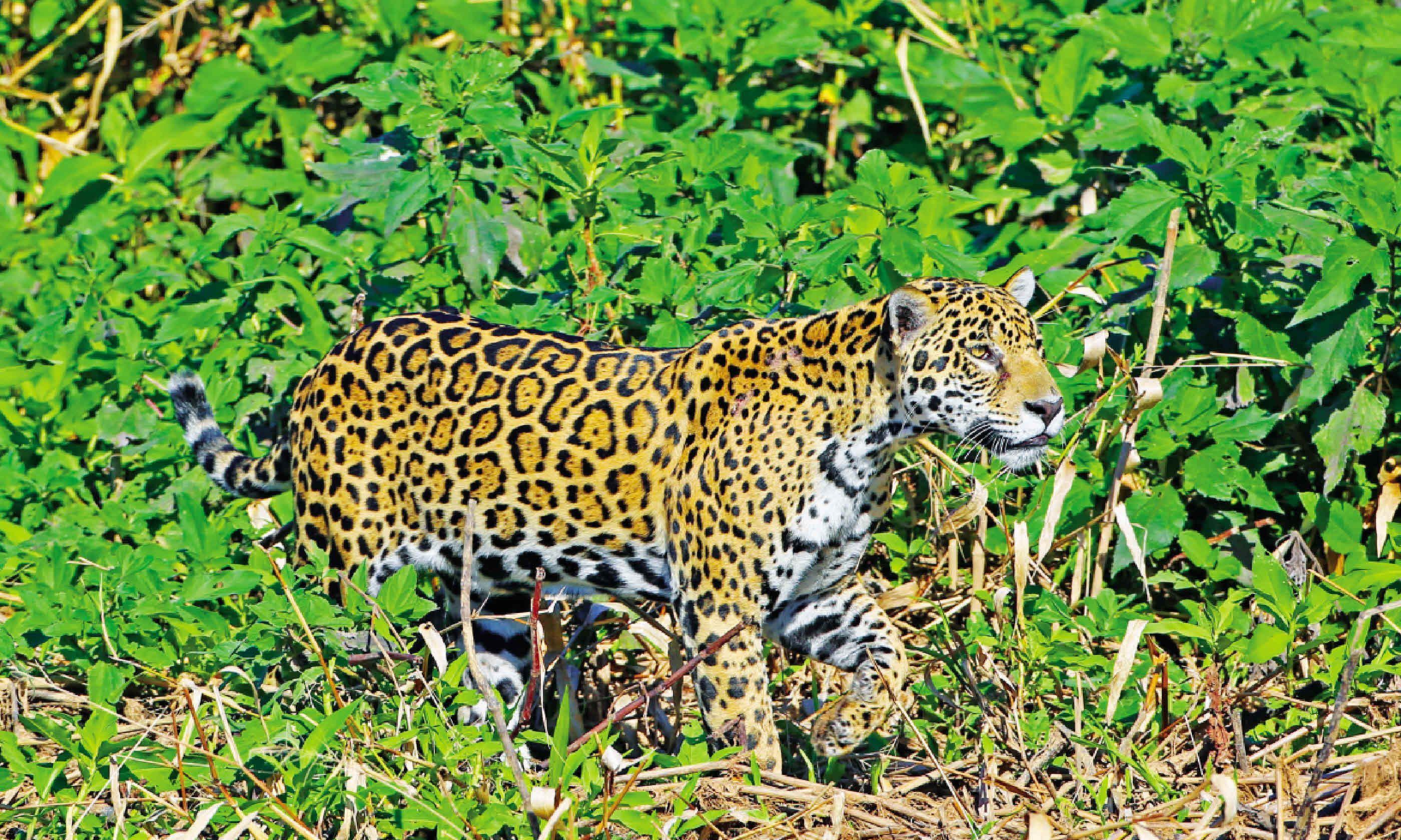 Jaguar in Brazil