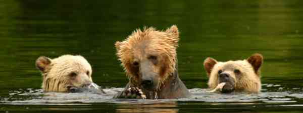 Bears in Knights Inlet, Canada