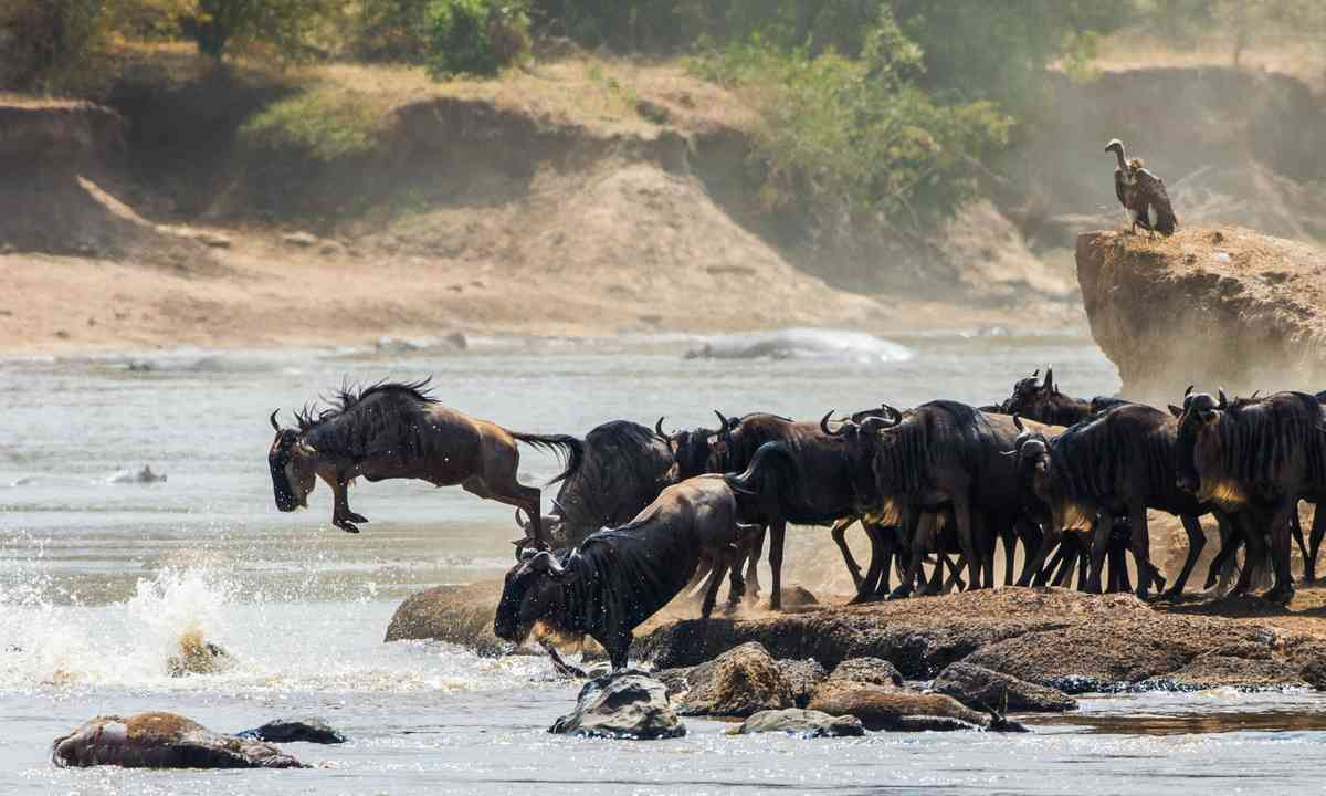 Wildebeest jumping into the Mara River (Shutterstock.com)