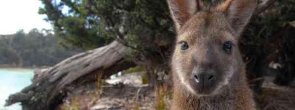 Bennett's Wallaby (DrG)