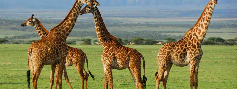 Giraffe herd in Tanzania (Dreamstime)