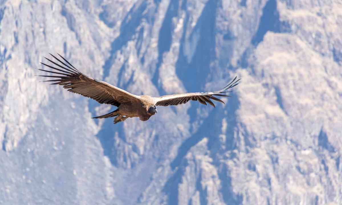 Andean condor in Colca Canyon (Dreamstime)