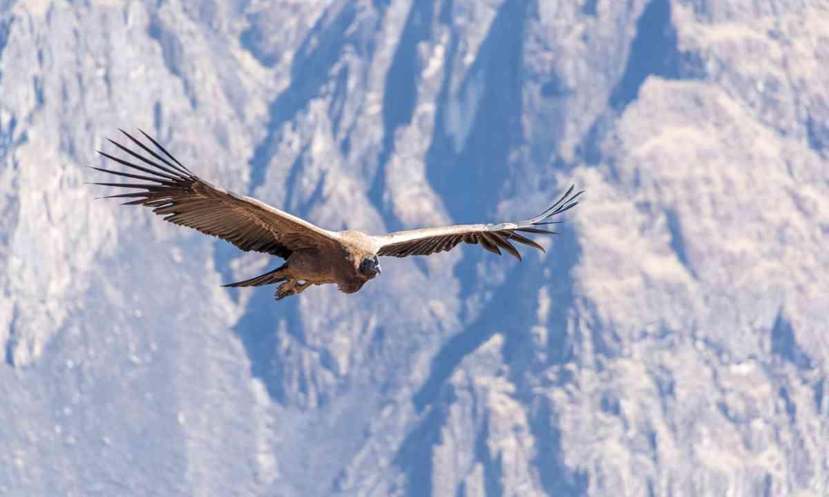 Andean condor in Colca Canyon (Dreamstime)