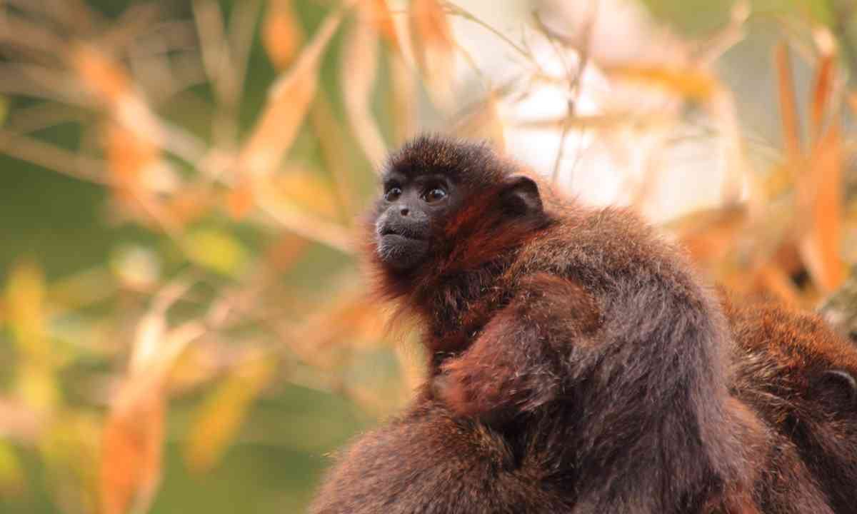 A baby red titi monkey (Dreamstime)
