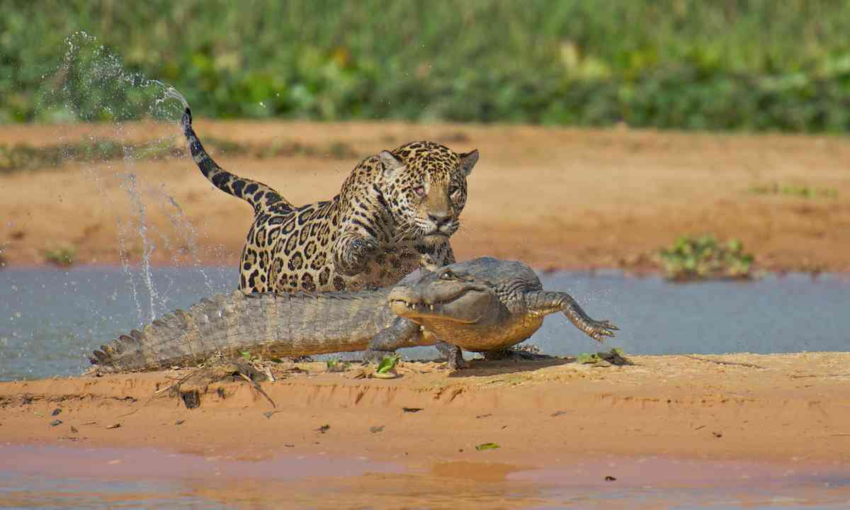 Jaguar pouncing on a caiman in the Pantanal (Dreamstime)