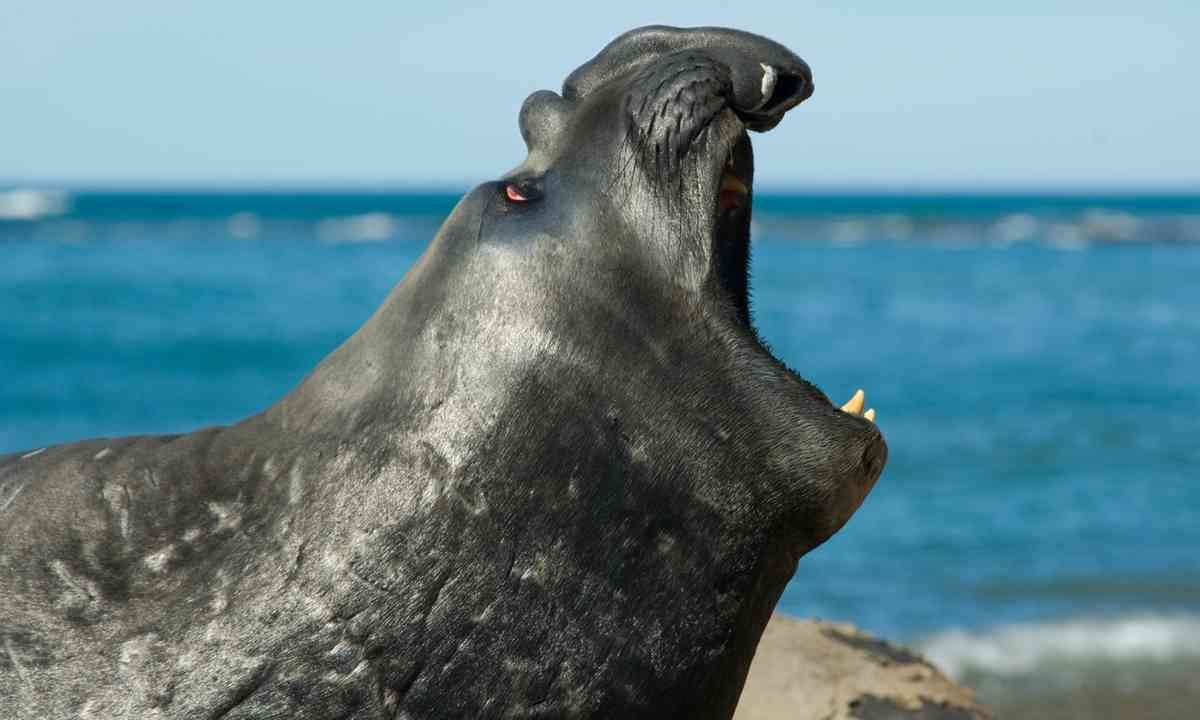 An elephant seal bellowing on Peninsula Valdes (Dreamstime)