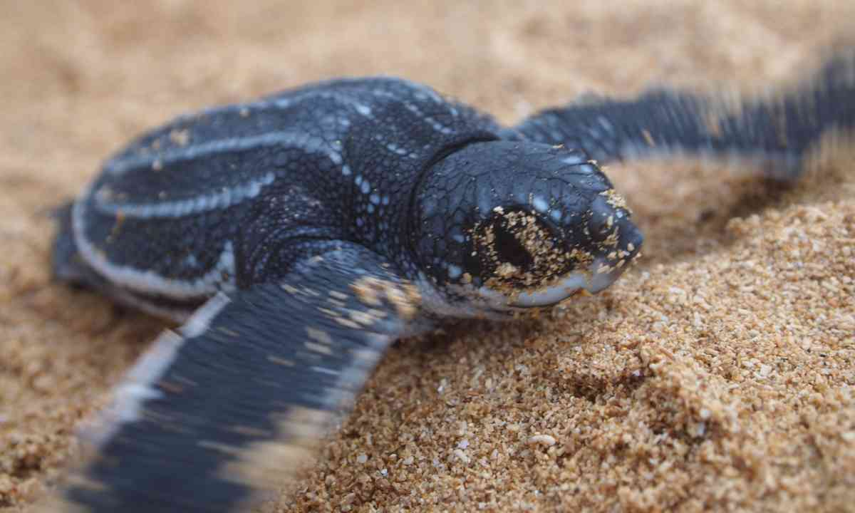 A baby leatherback turle emerging on Shell Beach (Dreamstime)