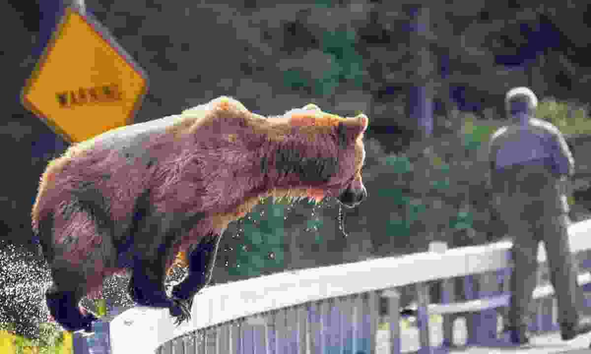 A brown bear appears near an unsuspecting man (Shutterstock)
