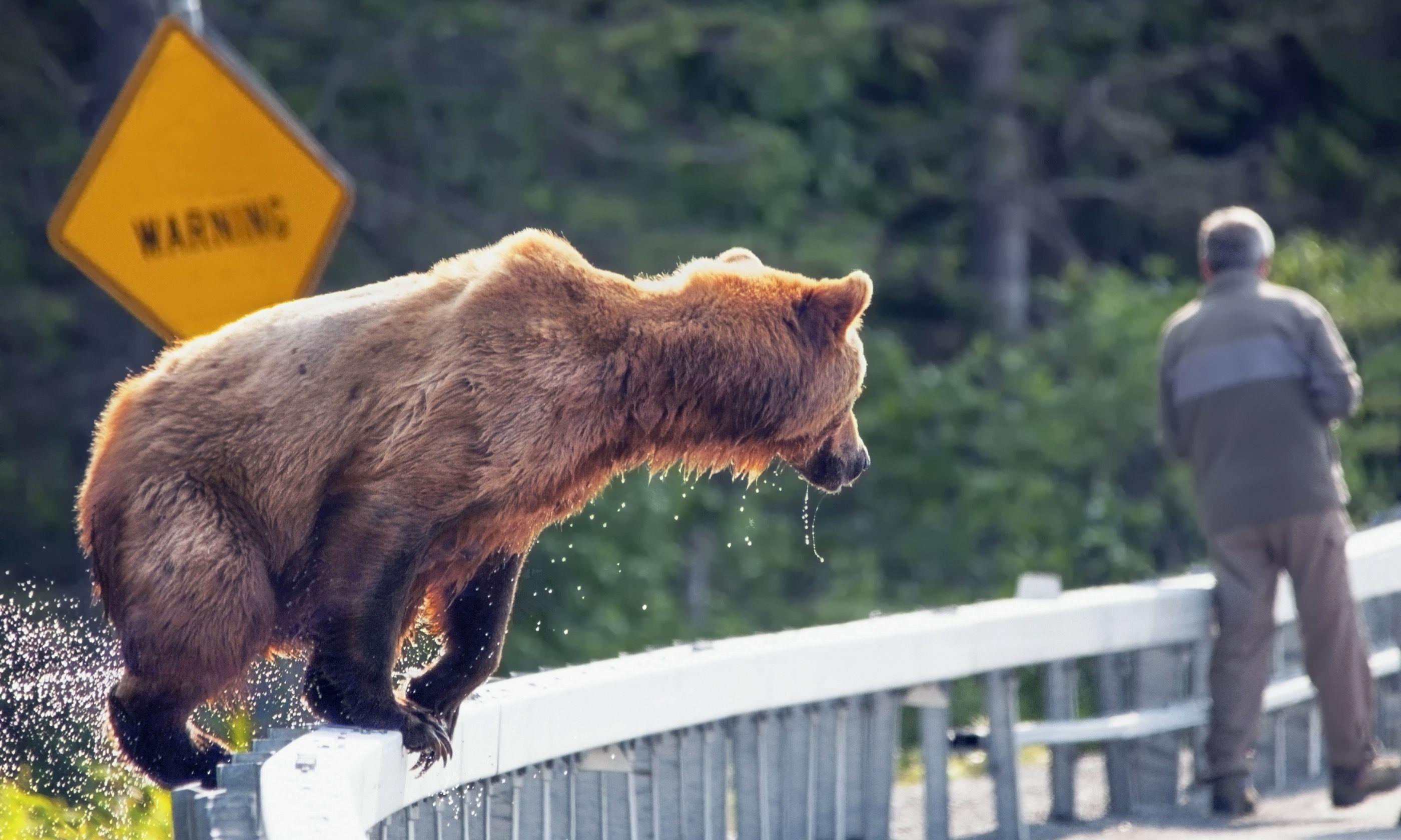 Brown bear near unsuspecting man (Shutterstock.com)