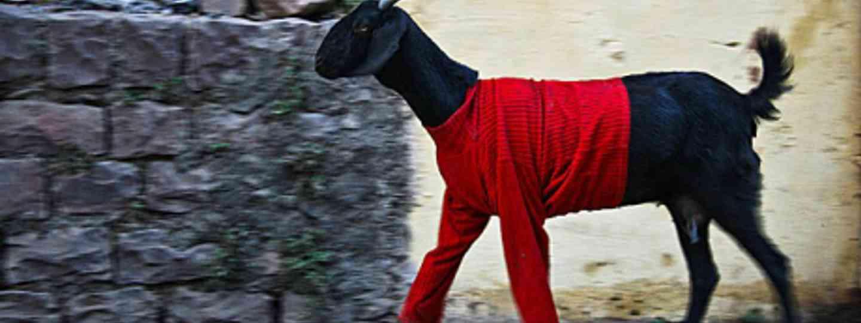 Goat in a jumper (9avin)