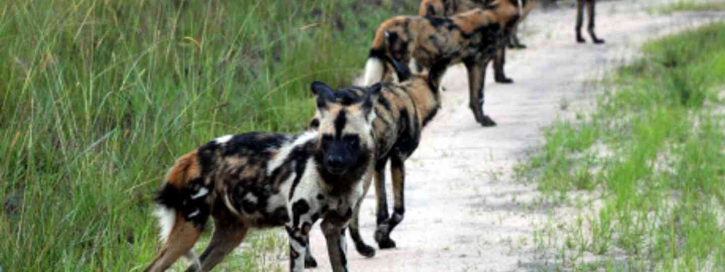 Painted dogs (Duncan Yearley)
