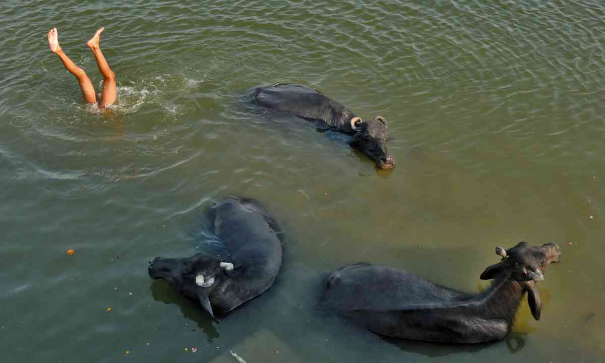 Swimming with buffaloes (Dreamstime)