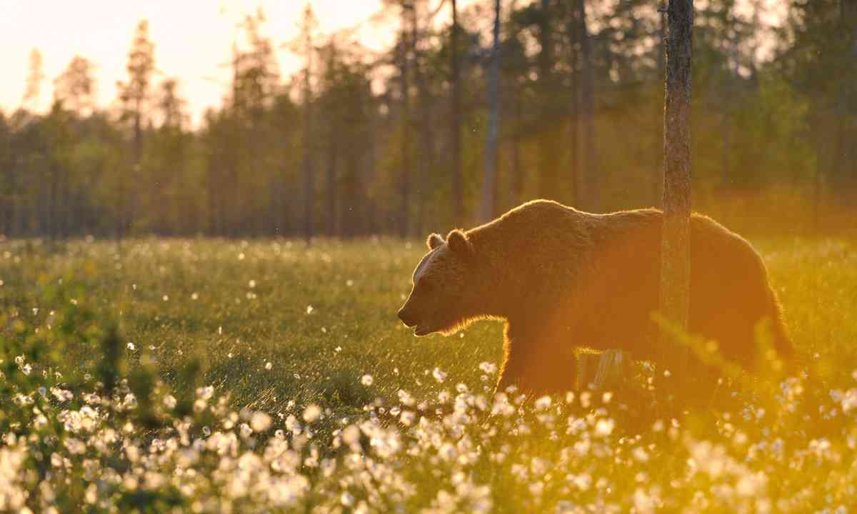 A Finnish bear enjoying the midnight sun (Shutterstock.com)