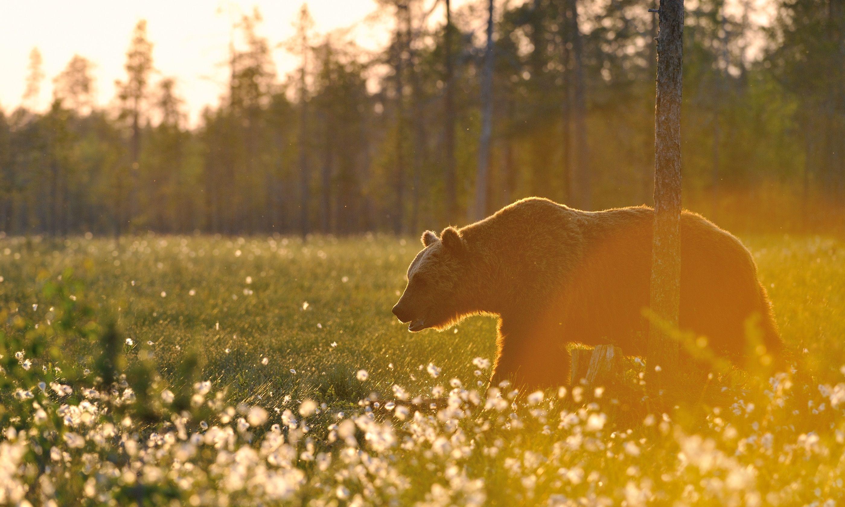 A Finnish bear enjoying the midnight sun (Shutterstock.com)