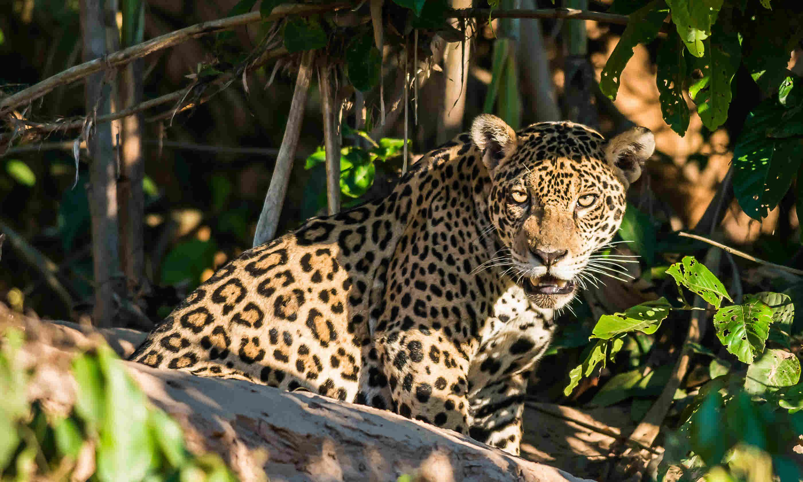 Jaguar in the peruvian Amazonian jungle (Shutterstock)