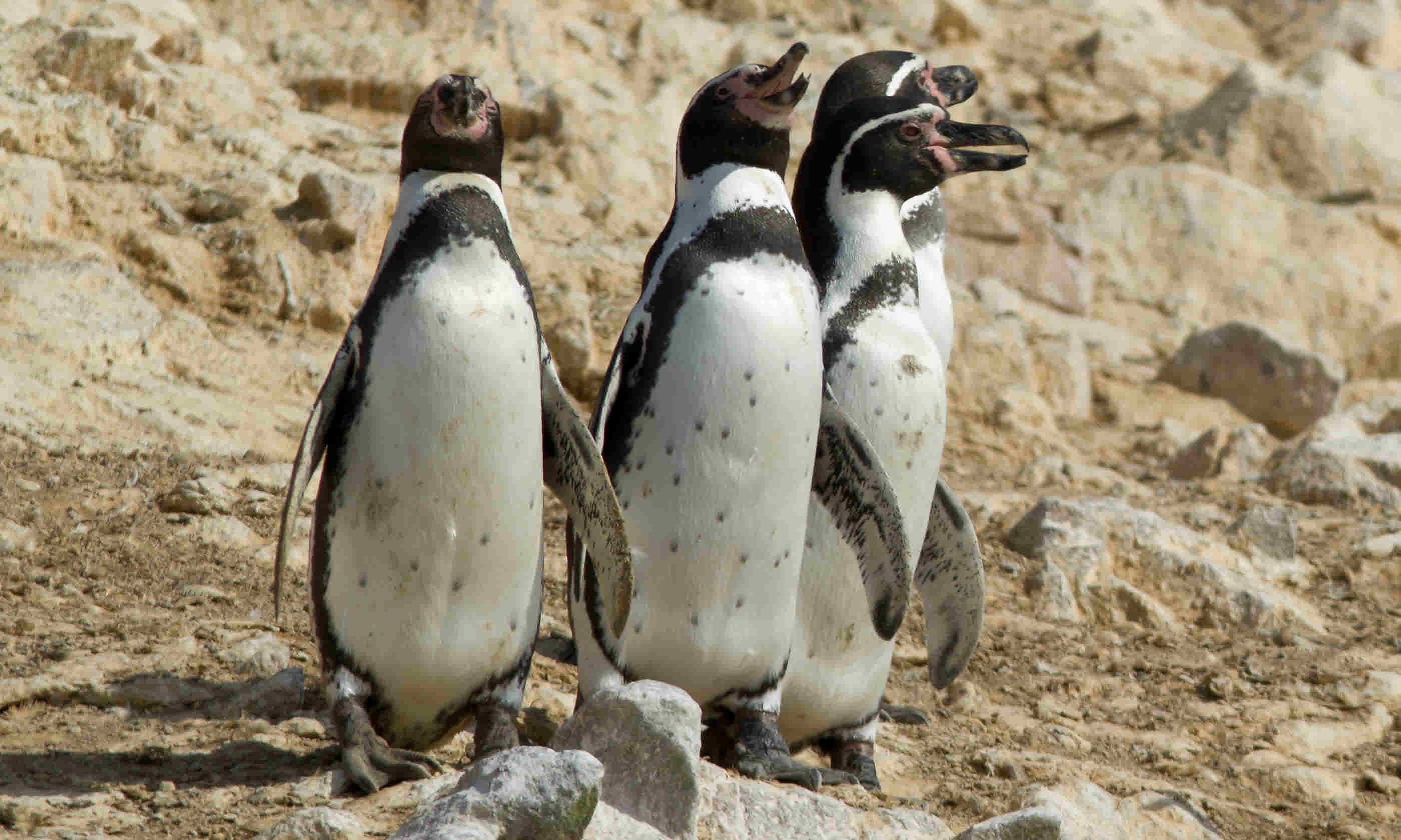 Humboldt Penguins at Paracas National Park, Peru (Shutterstock)