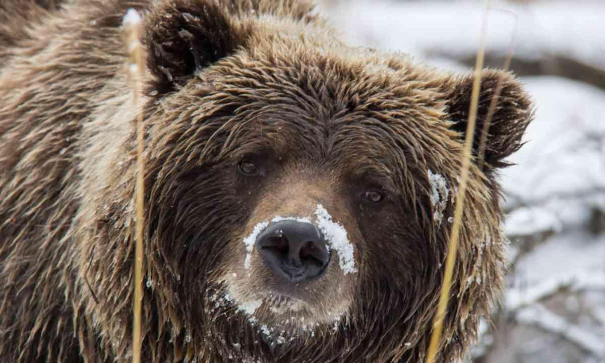 Close-up on bear in the Yukon (Wildlife Worldwide)