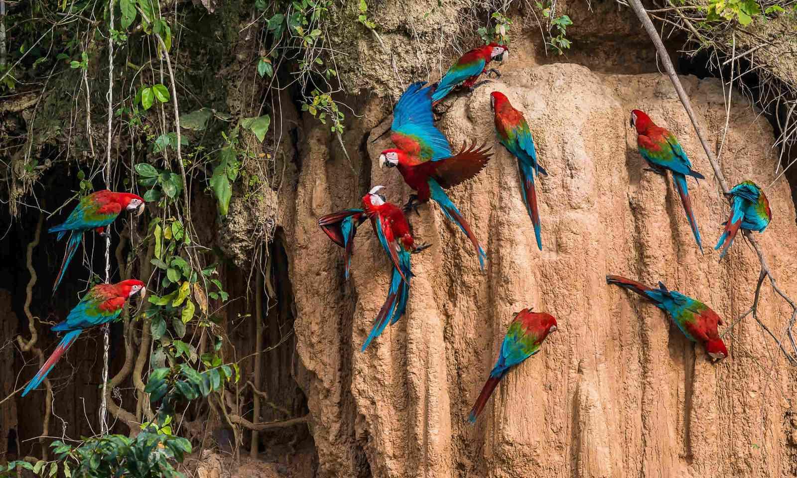 Macaws in clay lick in the peruvian Amazon jungle (Shutterstock)