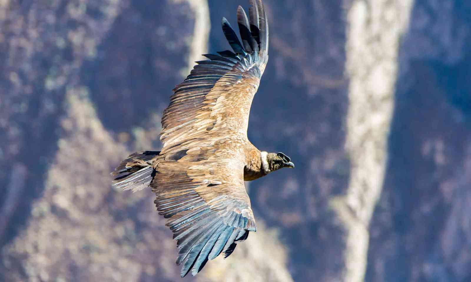 Flying condor over Colca canyon, Peru (Shutterstock)