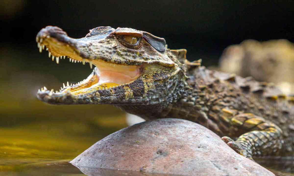 Small Caiman Crocodile (Shutterstock)