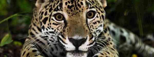 Jaguar in the jungle (Shutterstock)