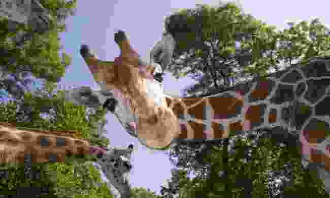 Friendly giraffes (Shutterstock)