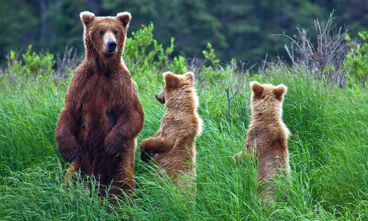 Up close with Grizzlies (Dreamstime)