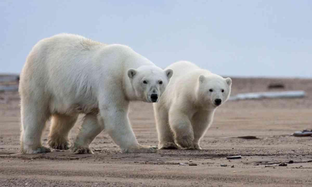 Alaskan Polar Bears (Wildlife Worldwide)