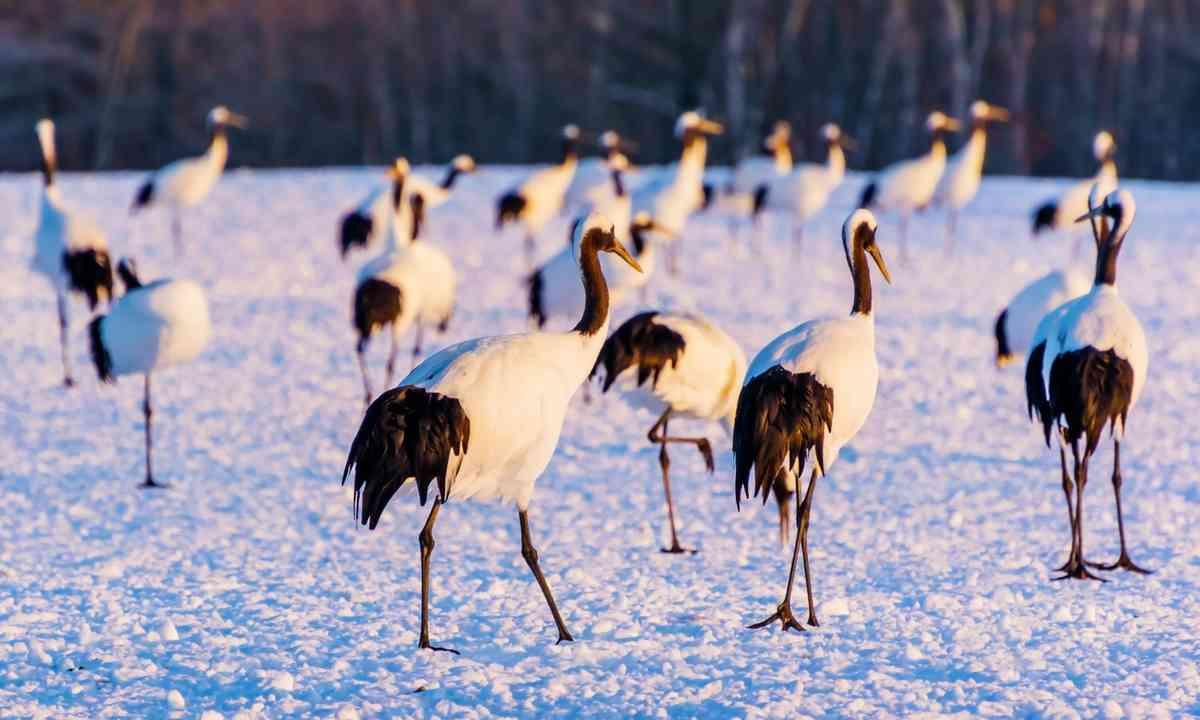Cranes in Hokkaido (Shutterstock.com)