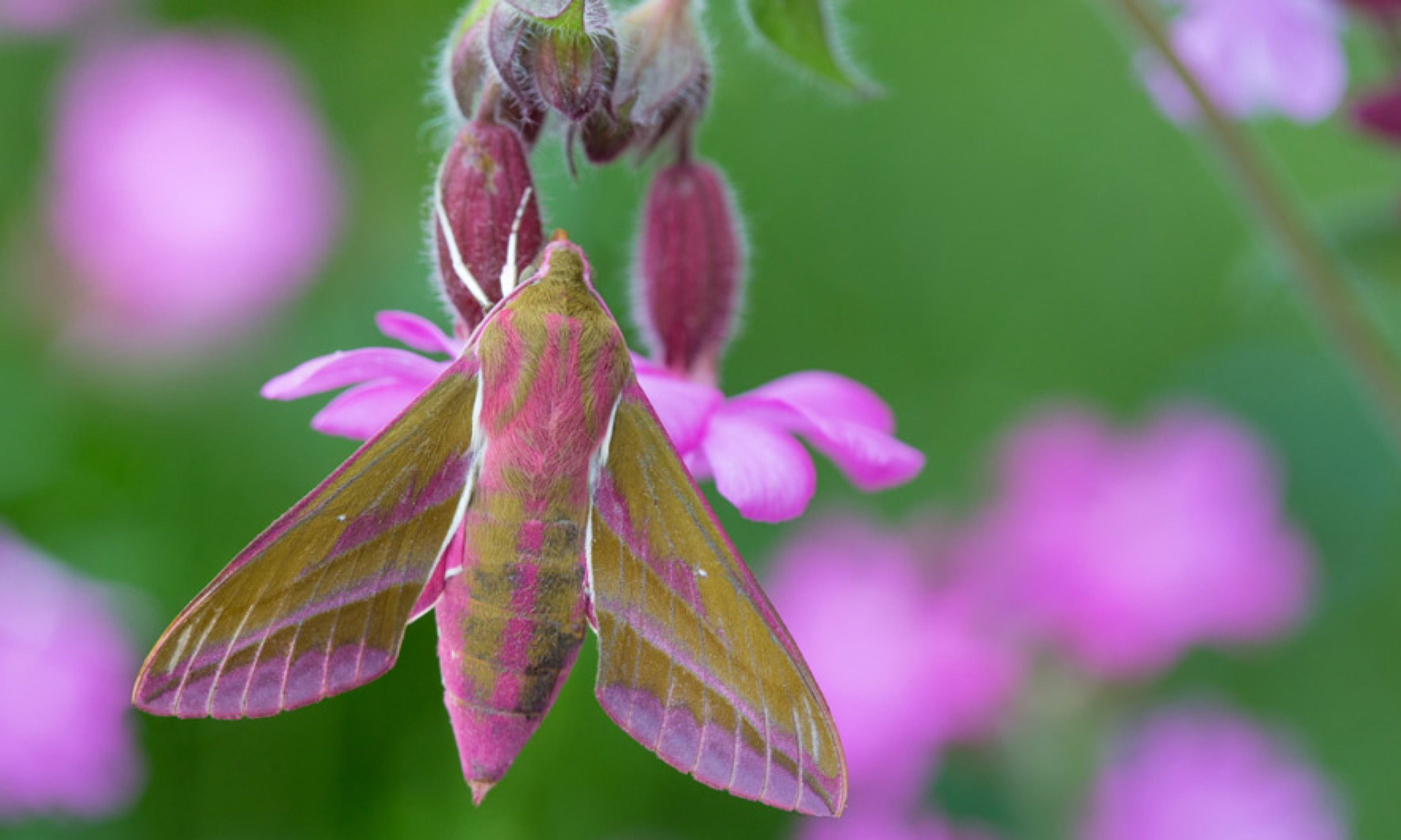A colourful hawkmoth in Dorset (Wildlife Worldwide/ Alex Hyde)