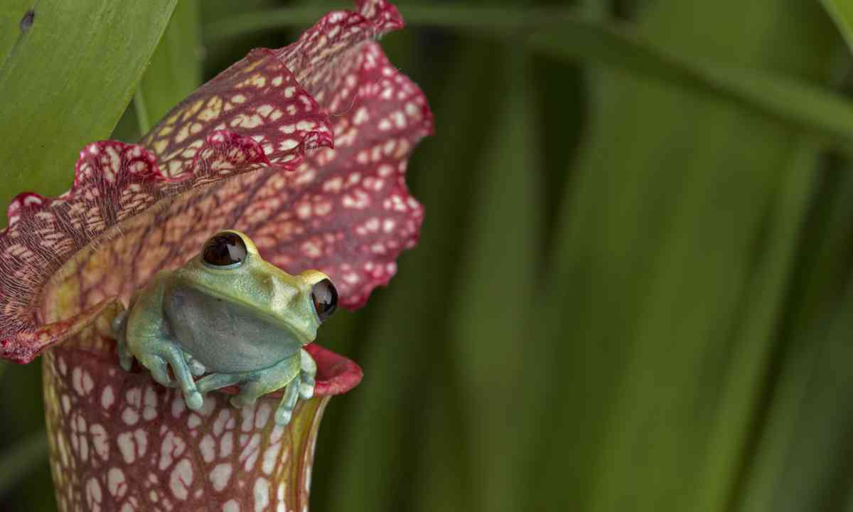 Frog in a pitcher plant (Shutterstock.com)