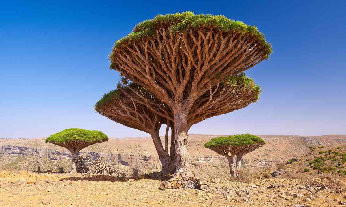 Dragon's Blood trees (Shutterstock.com)