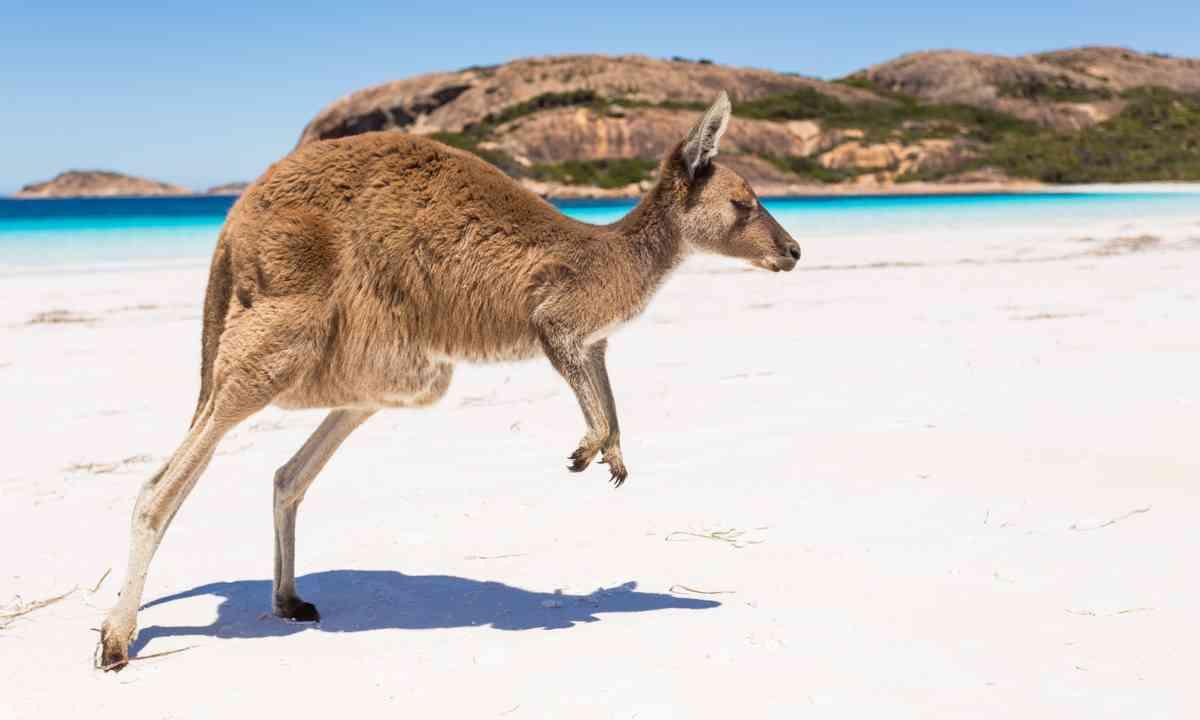 A kangaroo on an island (Shutterstock.com)
