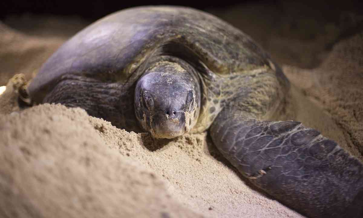 Green turtle laying eggs (Shutterstock.com)