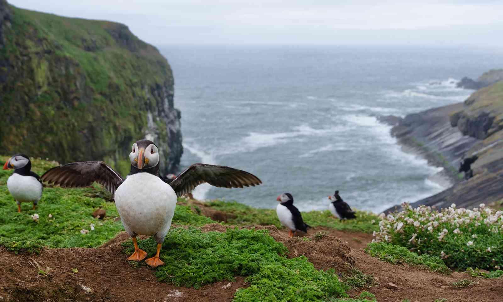 Puffins on Skomer Island (Shutterstock.com)